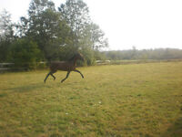 15 year old Standardbred Mare