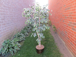 BEAUTIFUL 6 FOOT SILK TREE
