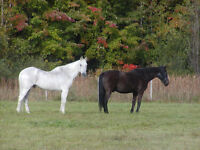 Gelding 6 to 8 years