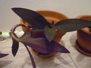 Purple Heart Plant
