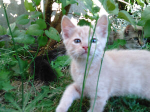 Kittens Ready To Leave Their Mother-Ragdoll X(cross)