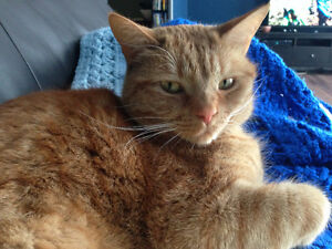 Adult Male Orange Tabby Cat- Alistair