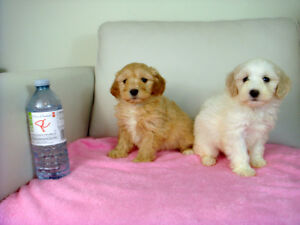 Cute Toy Size Maltipoo Puppies m/f's
