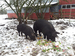 Pigs for Sale - Berkshire Boar and Pregnant Sow