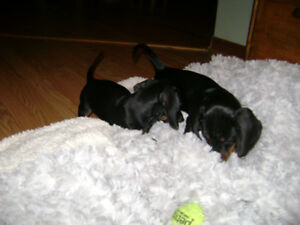 Dachsund Pups for sale