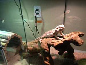 Young bearded dragon with complete set-up