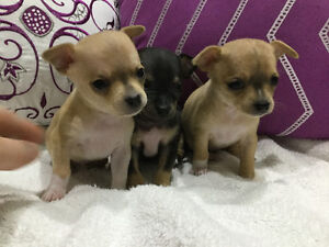 Sauga City Chihuahua Puppies for Sale