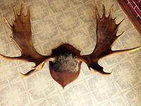 Panache d'orignal - Grand - Environ 48 x 36 pouces