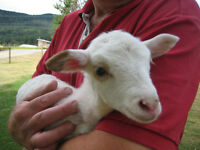 Bottle baby Lamb