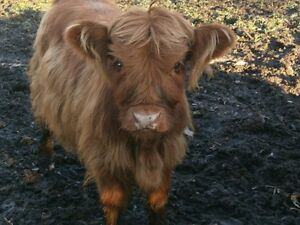 Quality Highland Cattle for Sale Kingston Kingston Area image 1