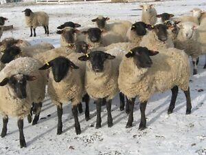 "2016 Suffolk Cross ewe lambs exposed""SOLD"""