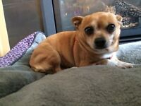 7yr old unfixed female chihuahua