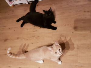 Bonded pair of kittens for rehoming