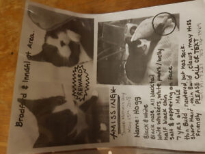 Missing Male Cat Black nose White whiskers white paws, belly
