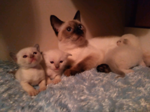 Siamese kittens / chats siamois