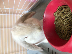 5 Months Male Holland Lop Bunny for Sale