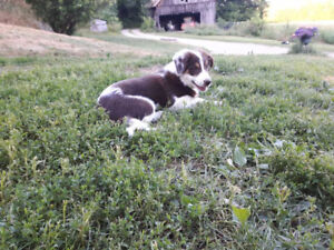 *SOLD* Flashy & Personality Plus-Registered Border Collie Pup