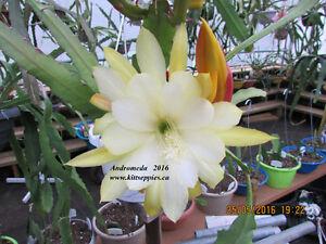 Epiphyllum aka Orchid Cacti Sale
