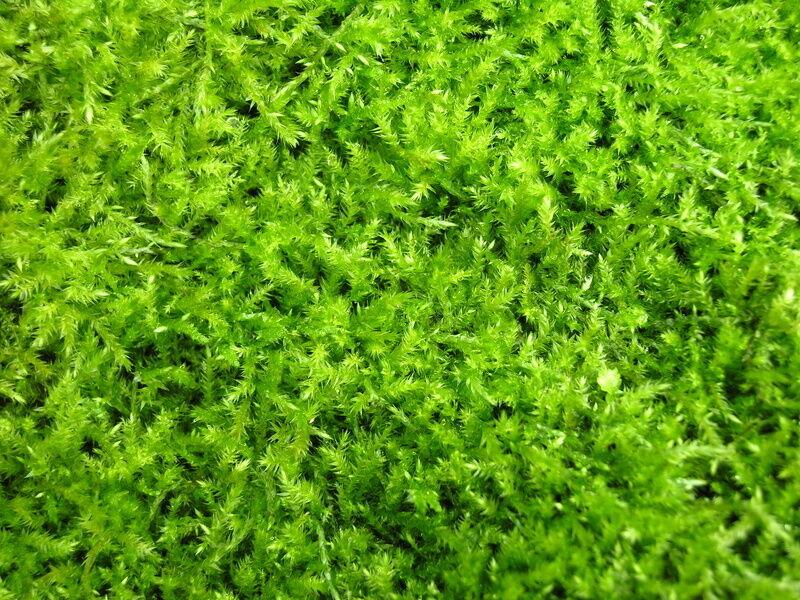 How to Grow Irish Moss | eBay