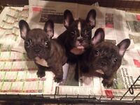 Beautiful French Bulldogs Puppies. READY NOW!!