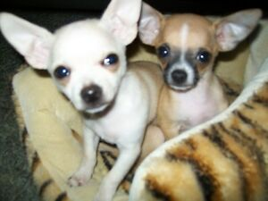 Male Teacup Chihuahua Puppies For Sale or Trade