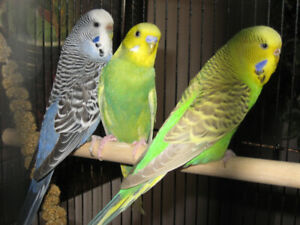 Breeder Budgies (not friendly/tame)