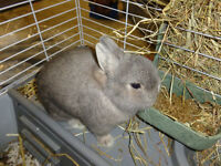 Netherland Dwarf rabbit and cage