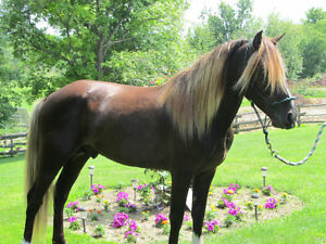 Rocky Mountain Horse For Stud Service, and  Horses For Sale!!!! Kingston Kingston Area image 3