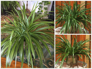 Extra Large & Healthy Spider Plants