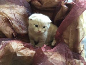 Attention! Male Scottish fold munchkin kitten for sale