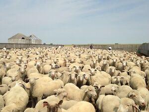 Lambs Moose Jaw Regina Area image 6