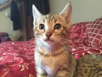 Adorable Female Bengal Kitten for Sale