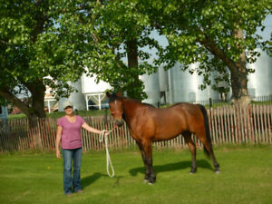 Purebred Arabian gelding