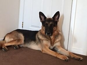 Pure German Shepperd Rehoming