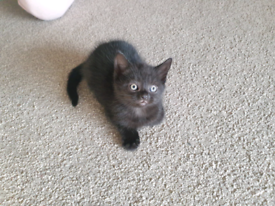 Half british short hair kittens (1 male left)