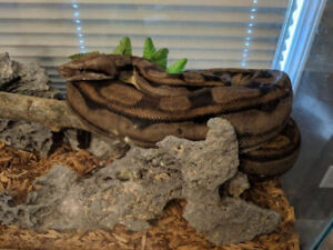 Fire/Motley Boa breeding package!!! Don't miss out!!