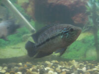"8"" Black Umbee(Caquetaia Umbrifera sp. San Rafael)--fish,poisson"