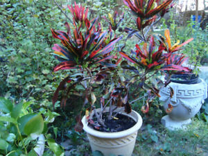 Large Croton, Joseph's Coat