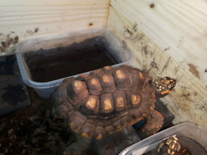 red footed tortoise   female 11 years old