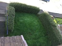 Free hedge very good condition