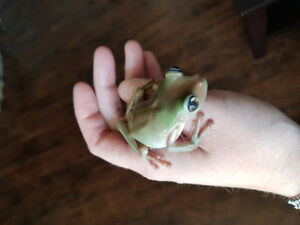 Whites Tree Frog with everything you need!
