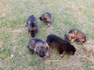 German Shaperd puppy