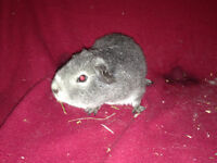 young Rabbits and Guinea pigs FOR SALE