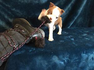 Chocolate Boston Terrier Puppy