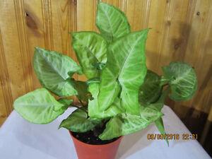 "Nephthytis ""Butterfly"" Plant"