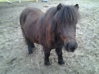 ISO: Pony for Sale or Free Lease