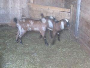 Registered Nubian Goats for sale