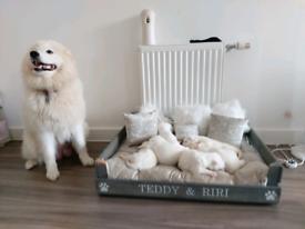 6 samoyed puppies