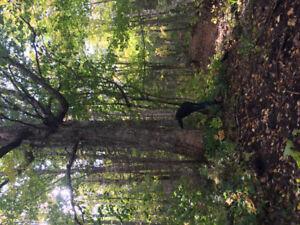 Birdseye maple trees