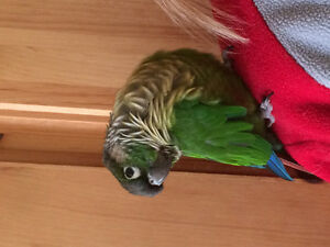 Hand fed affectionate/cuddly 8 months old Green Cheek Conure